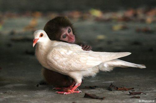Monkey and Pidgeon